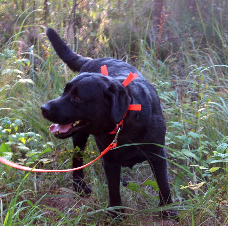 Medību kaklasiksna sunim oranža, platums 2.5 cm